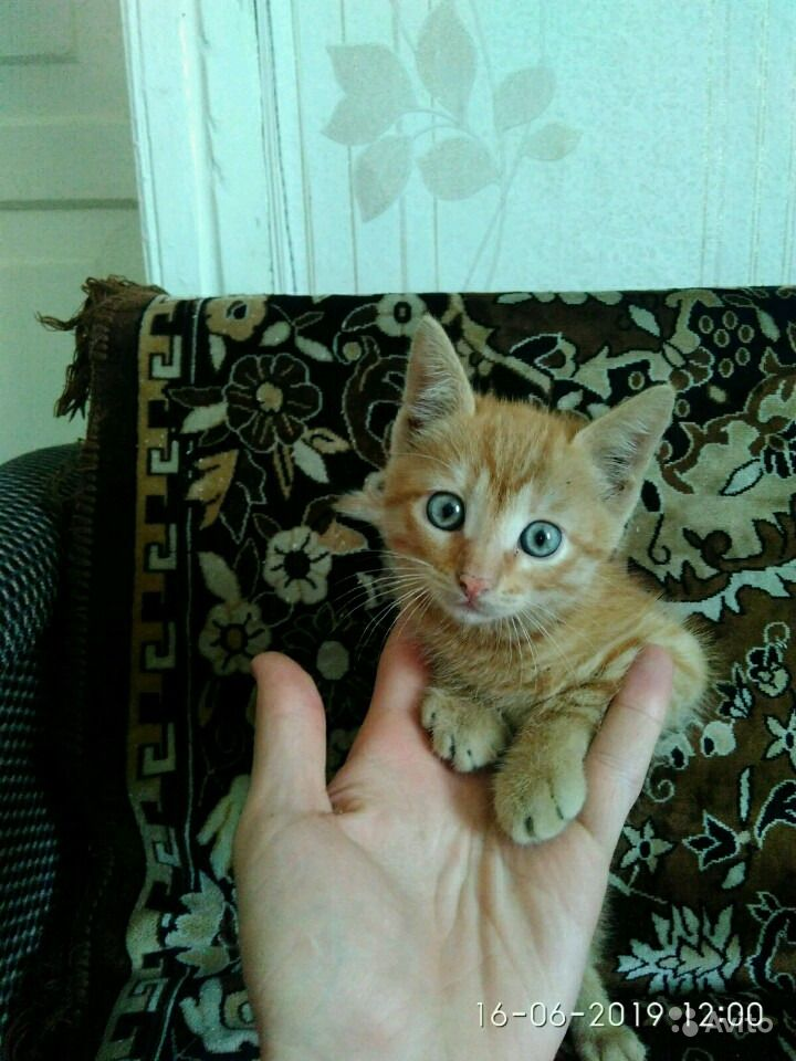Рыжего котенка в добрые руки