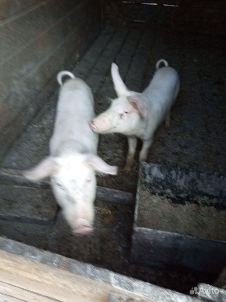 Продам двух свинок 3мес