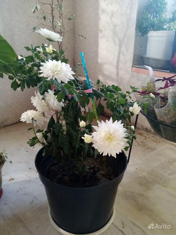 Хризантема купить на Зозу.ру - фотография № 1