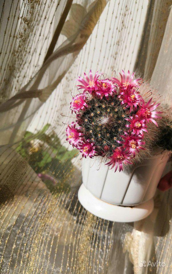 Детки кактуса купить на Зозу.ру - фотография № 4