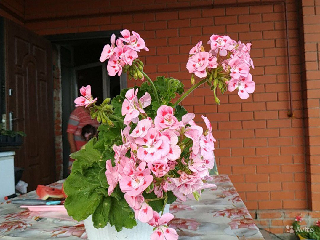 Пеларгония, герань купить на Зозу.ру - фотография № 4