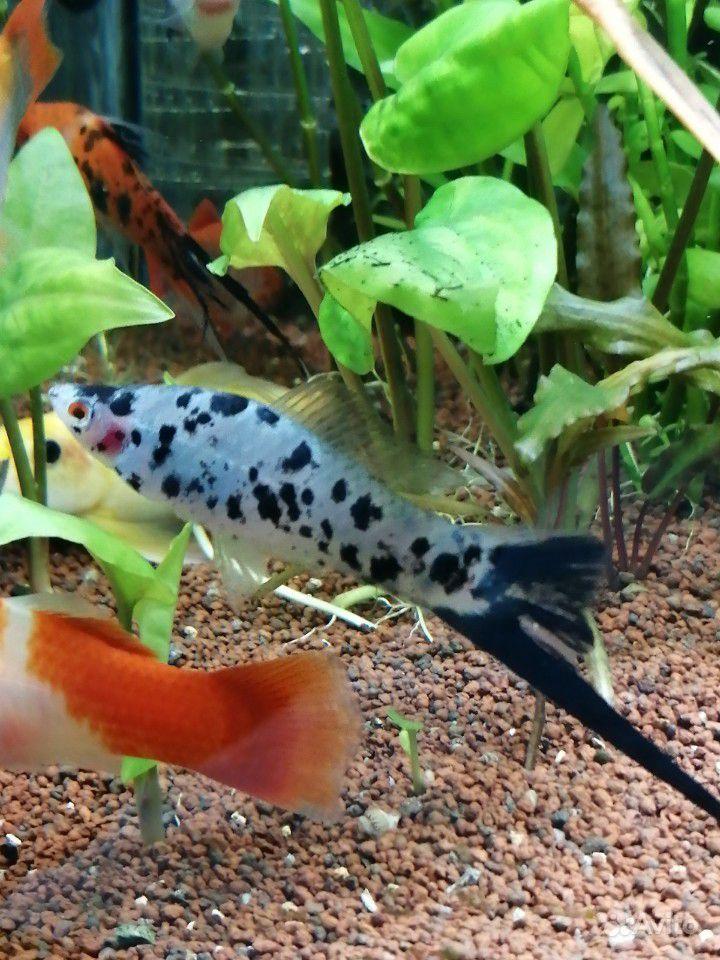 Меченосцы аквариумные рыбки купить на Зозу.ру - фотография № 9