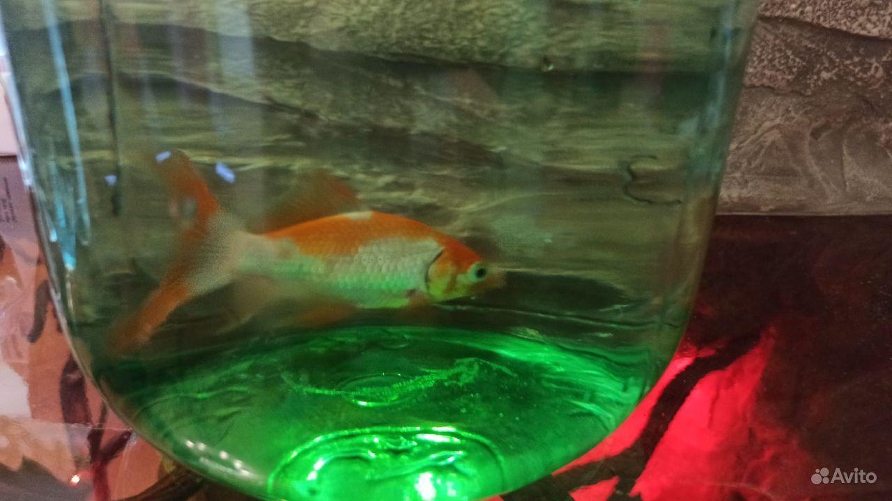 Золотая рыбка (Комета ) купить на Зозу.ру - фотография № 2