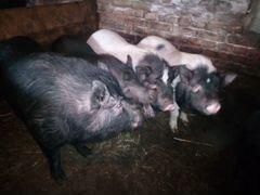 Продам свинок мясом вьетнамские