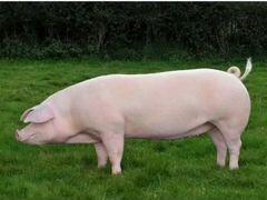Свини на мясо