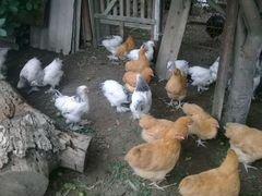 Цыплята брама и орпингтон