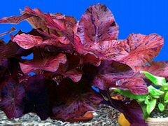 Растение для аквариума тигровая нимфея