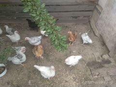 Цыплята домашние(подрощенные)