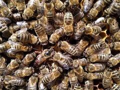 Пчелы ф1