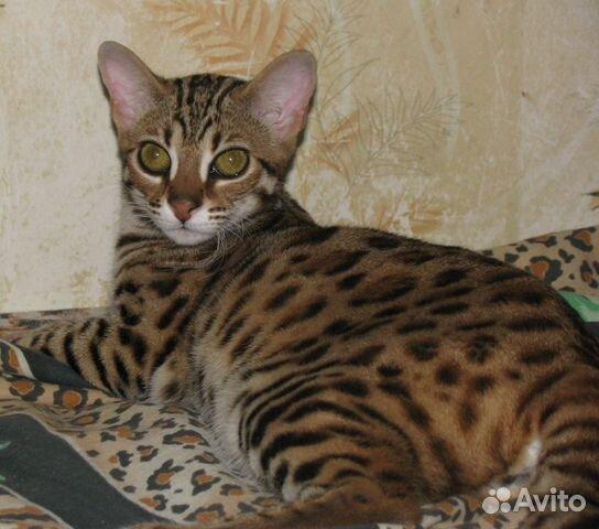 Бенгальские коты на авито