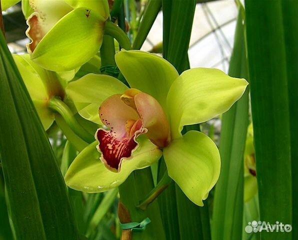 Фото орхидеи салатового цвета