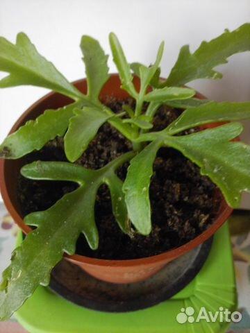оленьи рога растение фото