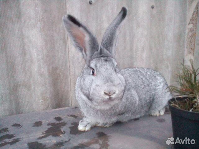 Объявление продам кролика оренбург зарплата ру новокузнецк свежие вакансии сегодня