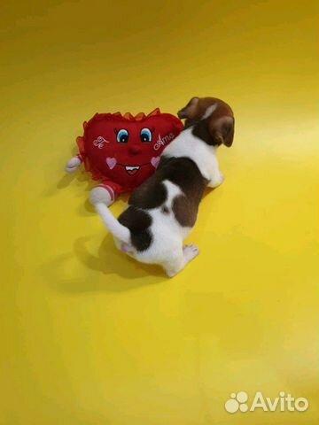Джек Рассел терьер-щенки трехцветные и белорыжие купить на Зозу.ру - фотография № 2