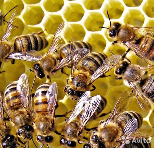 Продам пчелосемьи купить 1