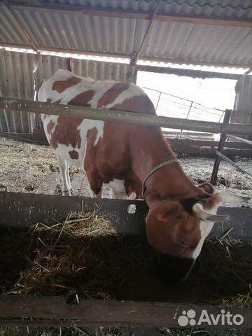Корова  купить 3