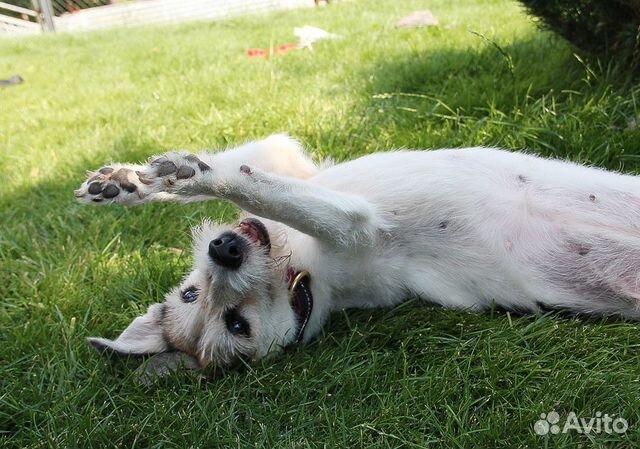 89137249811 Ласковая собачка Лилу