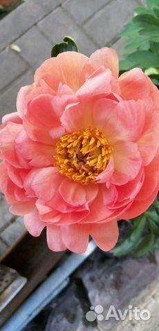 Пион, ито-гибрид, сорт Coral Sunset  89051107668 купить 2