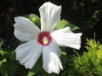 Бамия, мелотрия, воробейник, гибискус, гайлардия — Растения в Великовечном