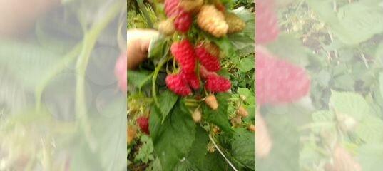 Малина Джоан Джи: перспективный высокоурожайный сорт