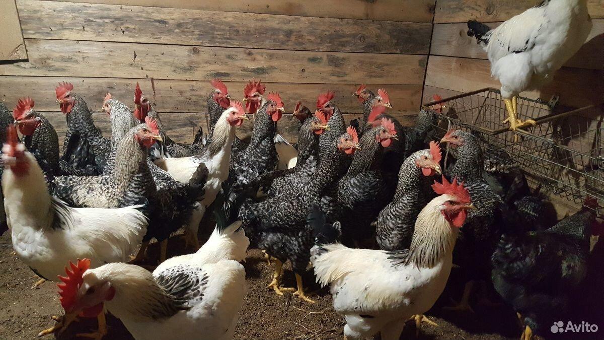 Cocks  89202626320 buy 1