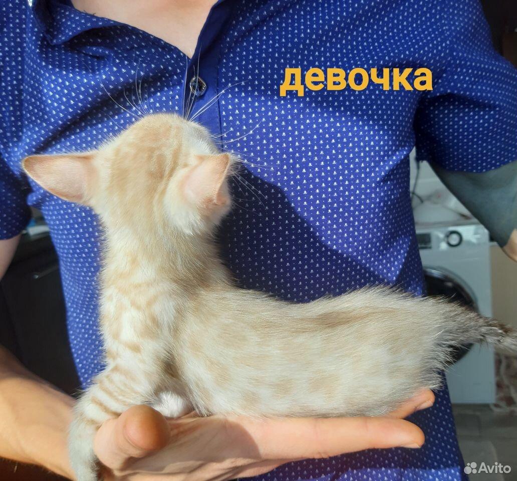 Бенгальские котята  89173097107 купить 5