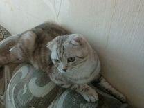 Продам кота шотландской породы возраст 10 месяцев