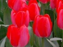 Тюльпаны Красные, розовые, желтые