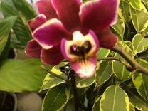 Орхидея фаленопсис миди — Растения в Москве
