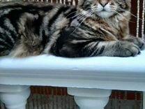 Вязка. мейн-кун — Кошки в Геленджике