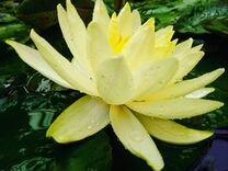 Водяные лилии (нимфея)