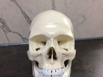 Модель черепа человека 1:1